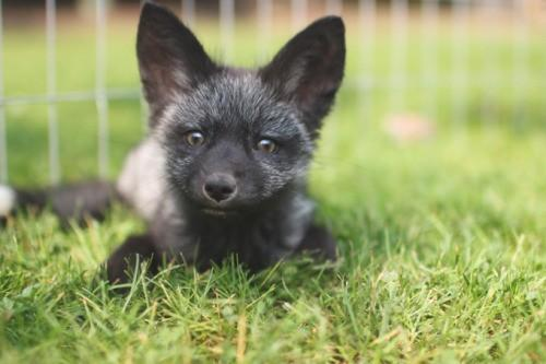 A Couple Adopted A Week-Old Baby Silver Fox And Raised It ...