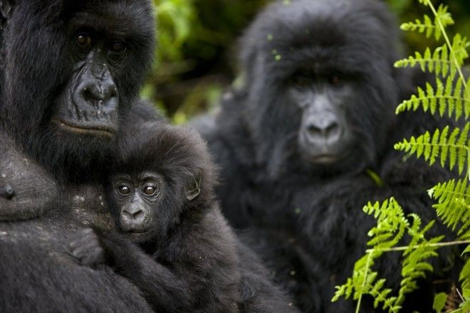 See mountain gorillas in Virunga National Park Democratic Republic of Congo