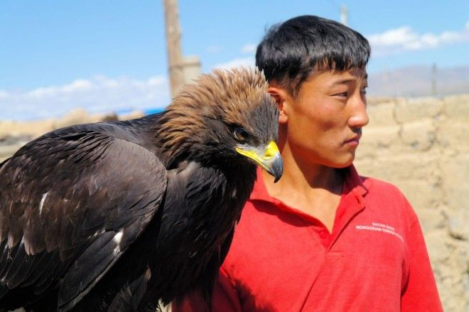 Watch eagles hunt amongst the Altai Mountains Mongolia