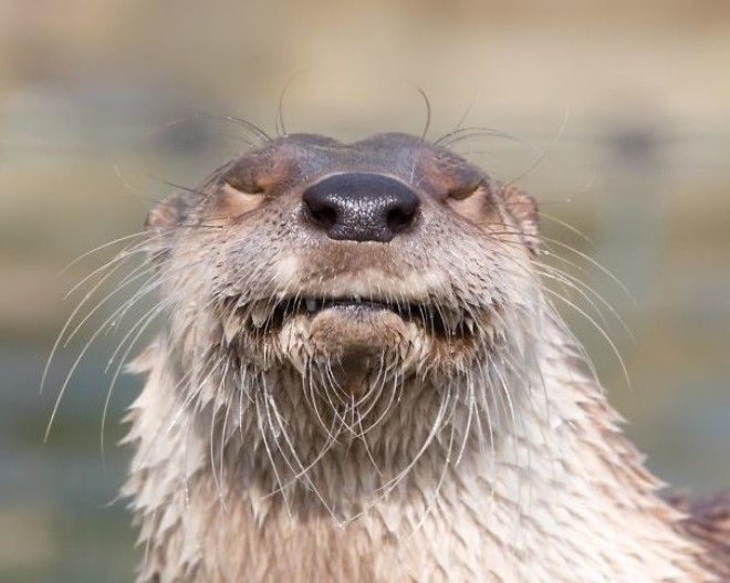 Otter Funny Face