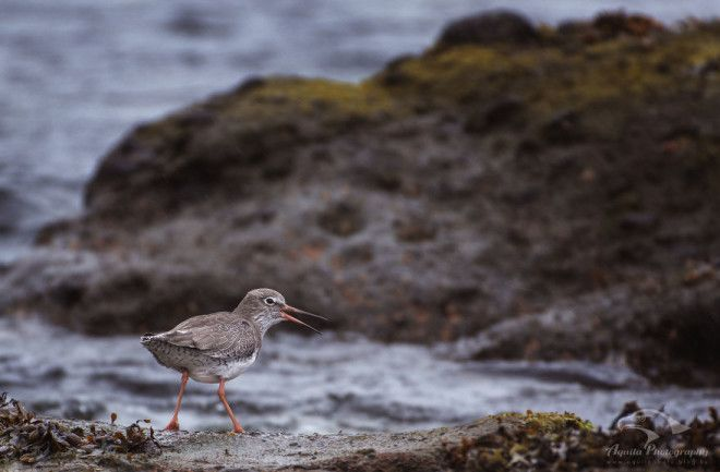Redshank Of Ballintoy