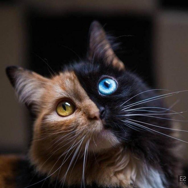 chimera-cat-split-face-different-eyes-gataquimera-25