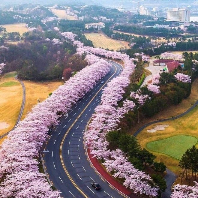 Gyeongju Cherry Blossom Road South Korea