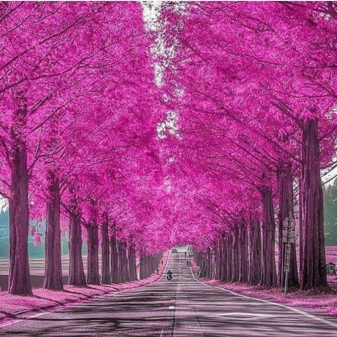 Metasequoia lined road in Shiga Japan