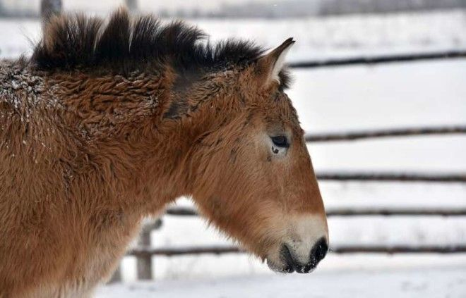 Photo of a a wild Przewalski's horse on a snow covered field in the Chernobyl exclusions zone