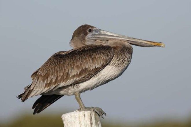 Brown pelican perched on a dock piling