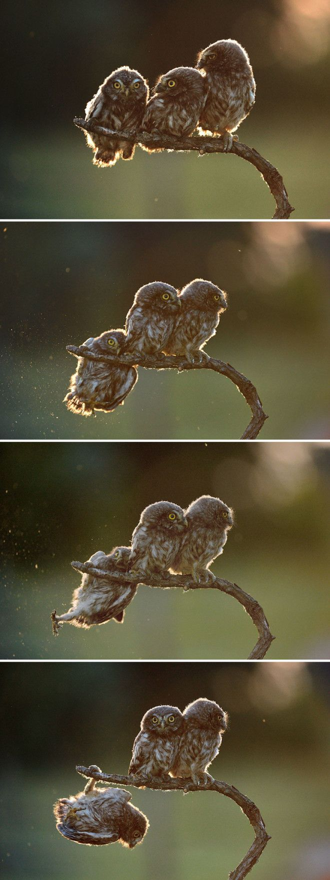 Overall Winner 2017 Help And Winner Of Amazing Internet Portfolio Prize Tibor Kerccz For His Sequence Of 4 Owl Images