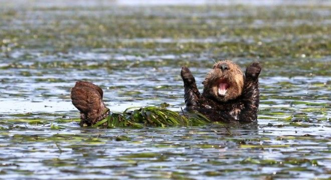 Highly Commended CheeringSeaOtter By Penny Palmer