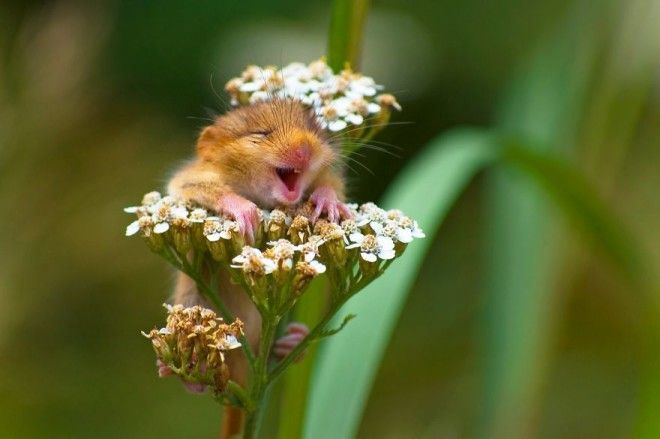 Winner Of The Alex Walkers Serian On The Land Category The Laughing Dormouse By Andrea Zampatti