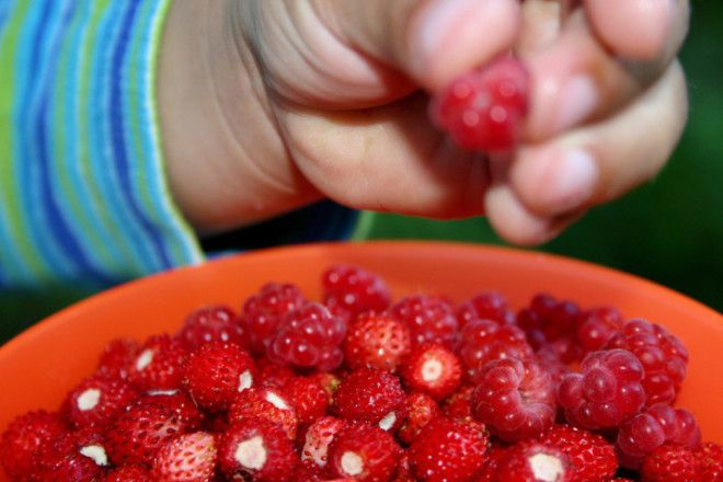 Wild strawberries and raspberries