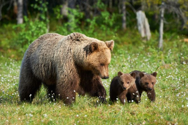 A bear with her children