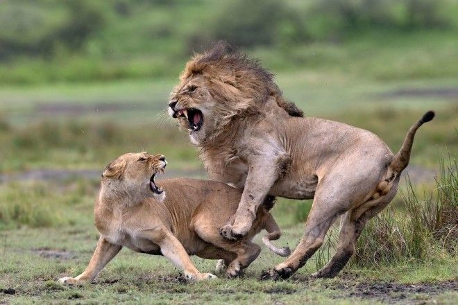 Love Fighting By Pierluigi Rizzato Remarkable Award In Animals In Their Environment Category