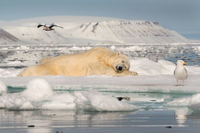 Dreaming On Sea Ice By Roie Galitz 1st In Fragile Ice Category