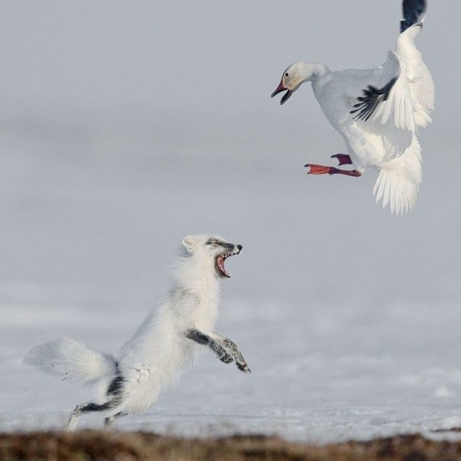 Attack By Sergey Gorshkov 1st In Animals In Their Environment Category