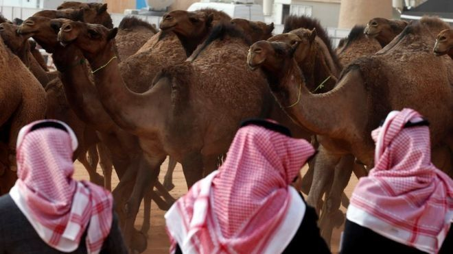 men judge camels to crown most beautiful