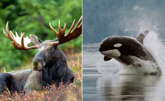 Moose and Killer Whale