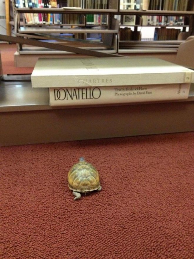 My Wife Is A High School Librarian And One Of Her Students Lost A Turtle In The Library Earlier In The Week Today He Was Found She Swears This Picture Wasnt Staged Is This Awesome Or Is My Wife A Liar