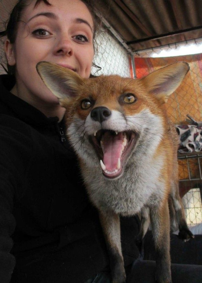 I Volunteer At A Wildlife Sanctuary (England); Meet Raven, One Of Our Tame Foxes
