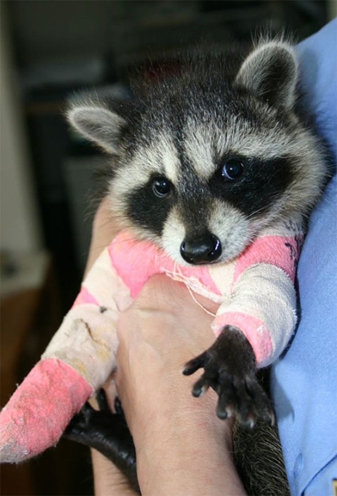 Just Started Volunteering At A Wildlife Center, Here Is A Young Raccoon With Two Broken Legs