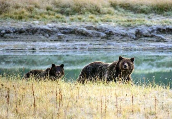 A grizzly bear and her cub walk in Yellowstone National Park