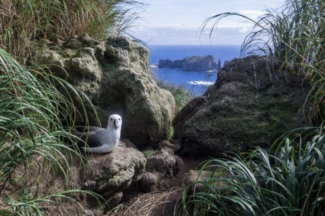 Atlantic Yellownosed Albatross with a Spectacular View from the Nest on Nightingale Island