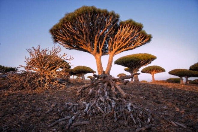 Endemic Dragon tree of Socotra Island on Yemen