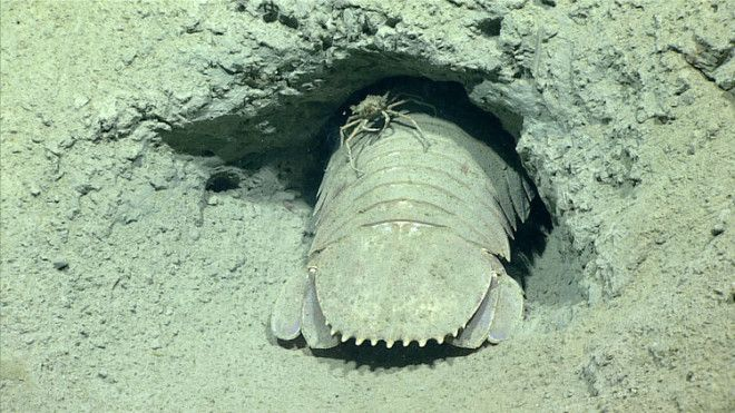 A spider crab hitches a ride on a giant isopod in the isopod's burrow tunnel at a depth of 1,788 feet.