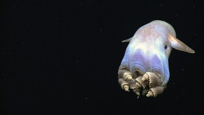 This cute little guy is a dumbo octopus, the deepest-dwelling octopus.