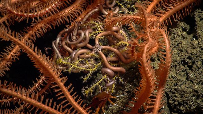 In this image, you can see a tiny snake star, surrounded by the spiny arms of larger sea stars coiled among the branches of a coral, at a depth of 1,315 feet.