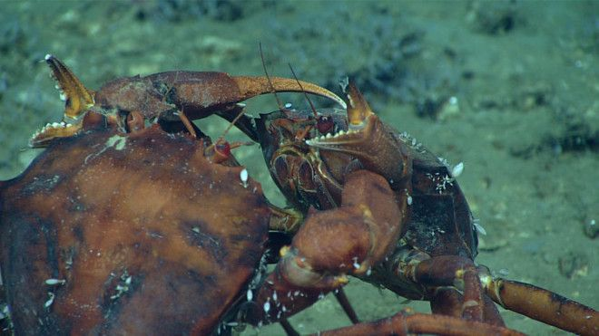 Two deep-sea male red crabs are pictured here in an intense duel.