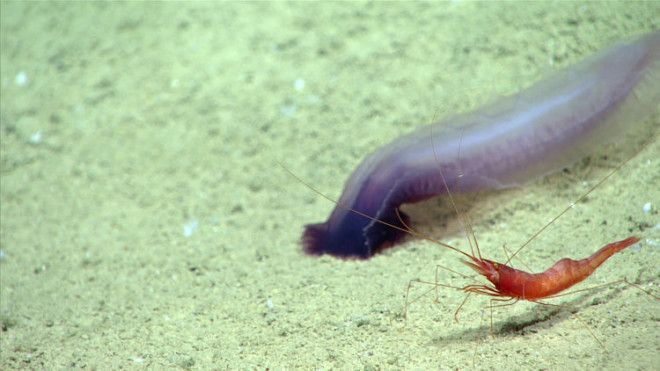 A deep-sea rendezvous: A sea cucumber and a shrimp wander past each other in the submersible's lights.