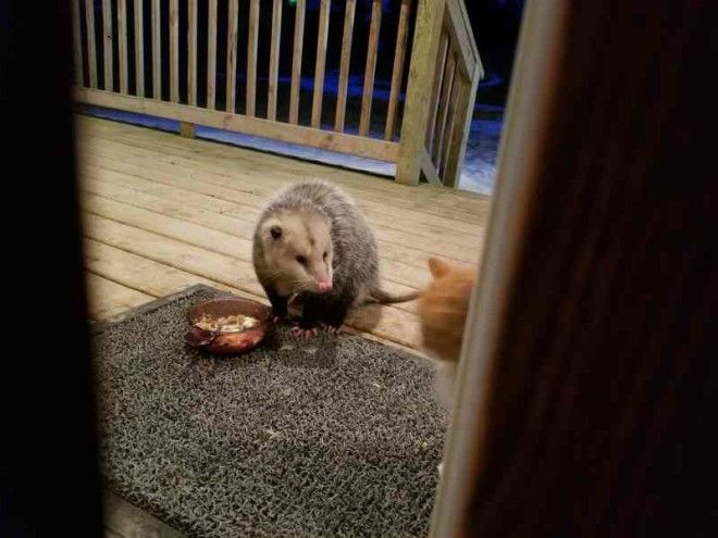 This Cats Reaction To Possum Stealing Her Food is Priceless