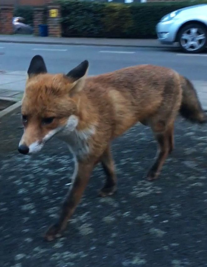 Guy Gets Too Close To Wild Fox While Snapchatting It