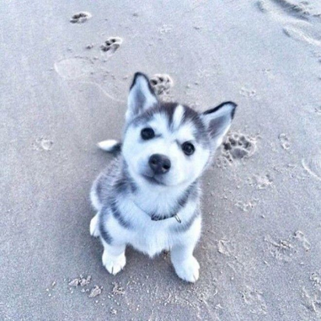 Little Husky