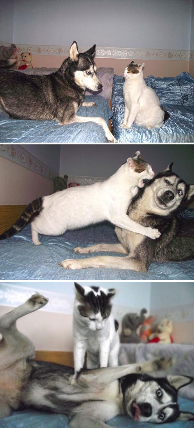 Cat Vs Husky
