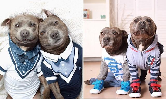 Two of the cutest Staffordshire Terriers