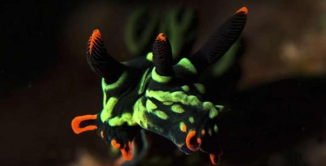 Green-and-orange sea slug does have two heads