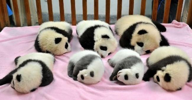 A great panda tradition