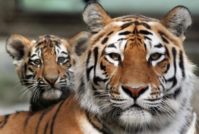 Rising tiger numbers