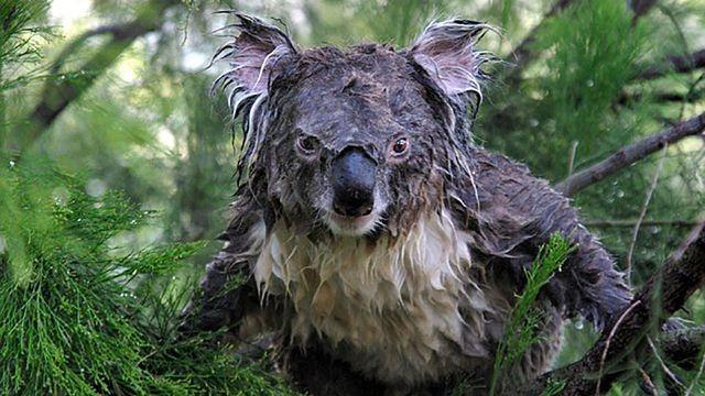 Pictures of soaking-wet koala