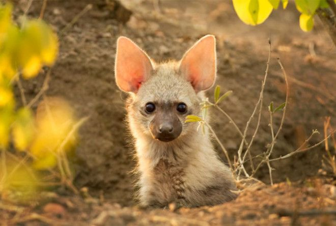 Ladies and gentlemen, meet the Aardwolf.