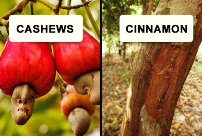 Didn't know cashews looked like that.?
