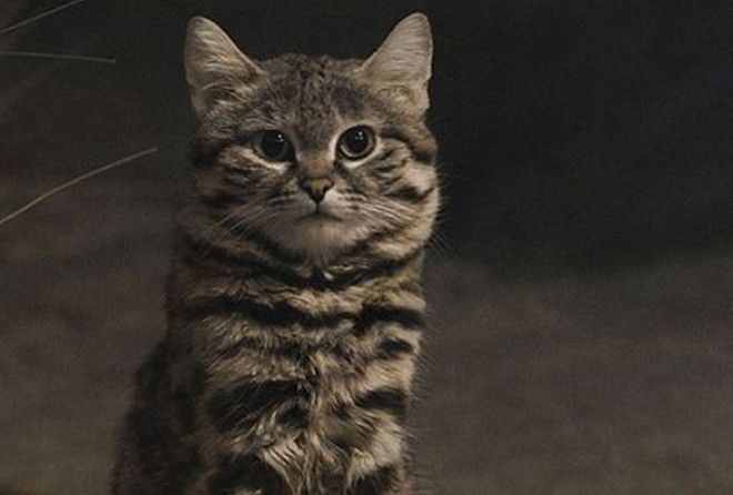 As the smallest wild cat in Africa, it's as threatening as it is adorable.