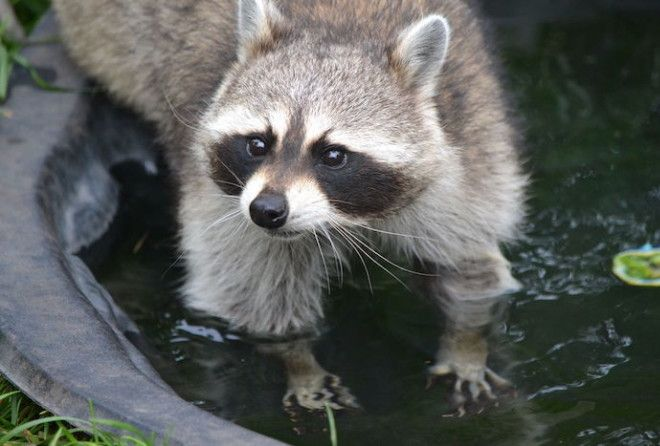 This article will review ten of the funniest events that have occurred involving raccoons.